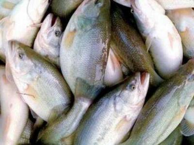 鲈鱼养殖技术方法