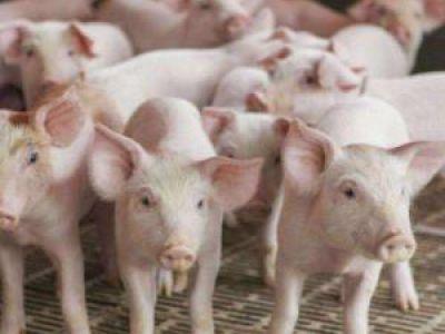 8月份生猪生产继续恢复 养殖信心增强